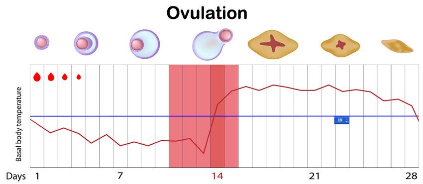 ovulationchart